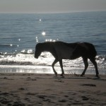 lone horse on assateague