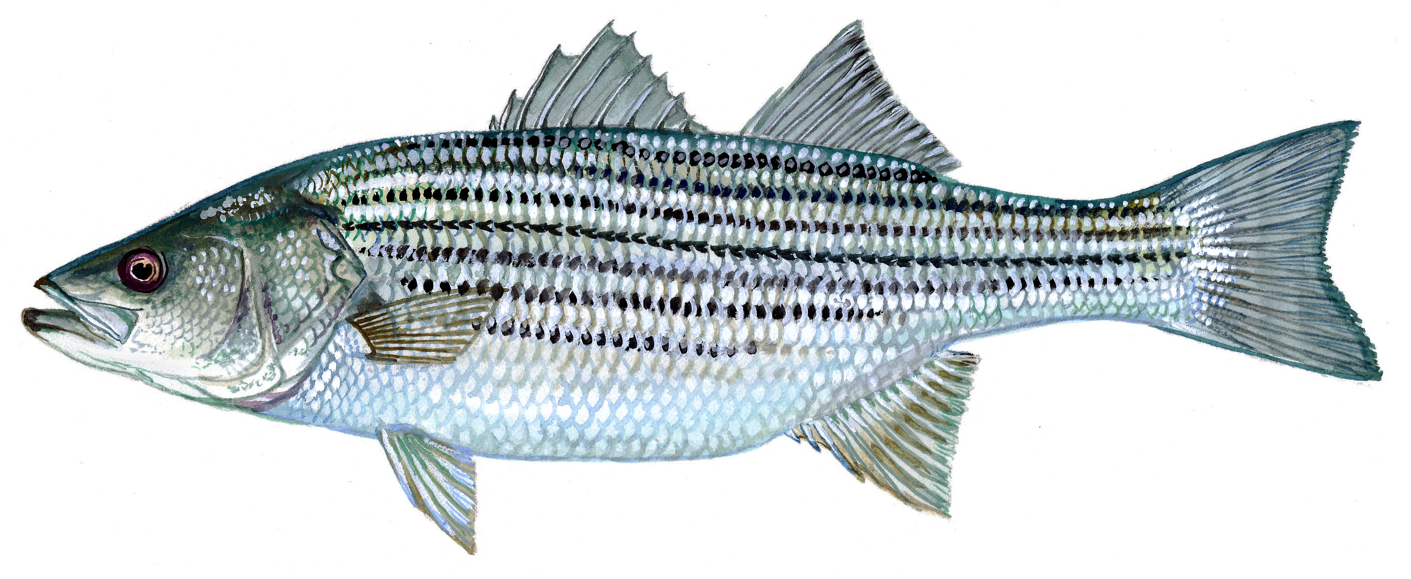 The striped bass, or rockfish, has been a species of contention since it was banned in federal waters in 1985.