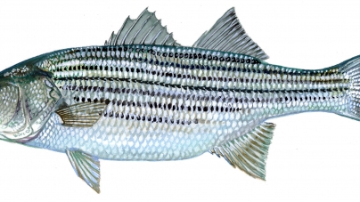 Changes to commercial striped bass fishing may benefit Lower Shore