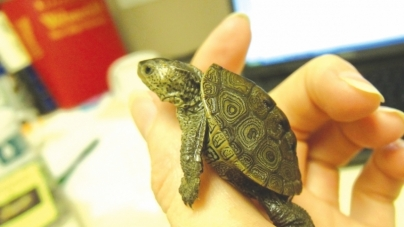 More than 800 terrapin spotted during May count