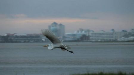 Birdwatching Abounds in Ocean City