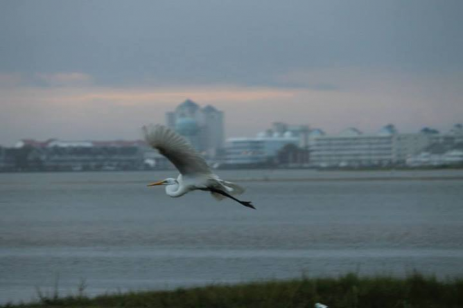 Ocean City Birding Descriptions