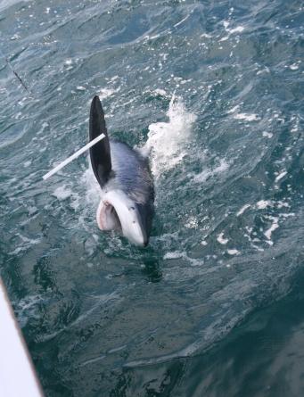 Ocean City Shark Tourney under way; weigh-ins Fri., Sat.