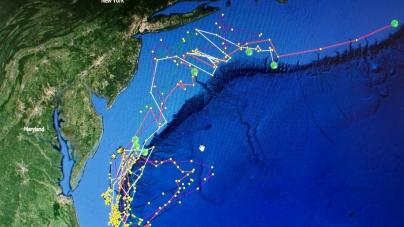 Eight shortfin makos tagged off Ocean City
