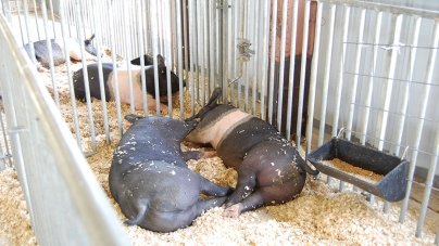 Great Pocomoke Fair offers 'taste of the rural life'