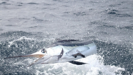 After three days, no qualifying blue or white marlin