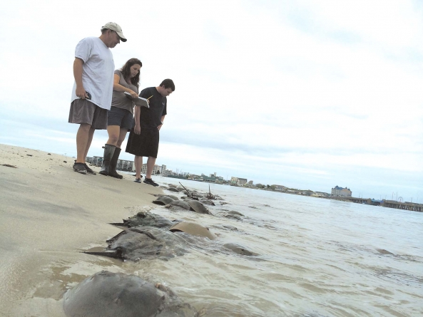 Horseshoe crab population on rise in Md. shore area