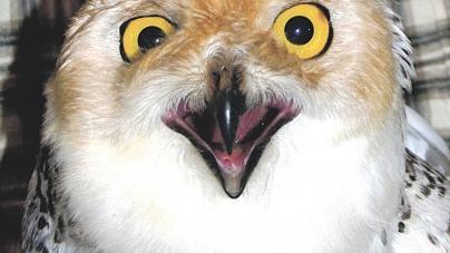 Owl's return delayed