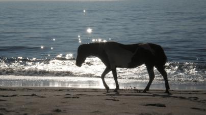 The Wild Ponies of Assateague (21 photos)