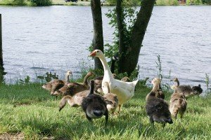 Residents hold funeral for goose 'Martha' in Pines