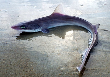 No need to fear Sharks in Ocean City Maryland Waters