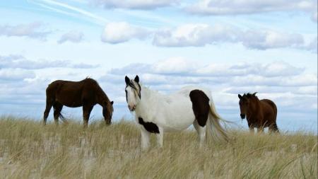 Creature Feature: Assateague vs. Chincoteague horses