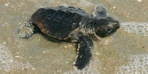 Creature Feature: Maryland's first sea turtles