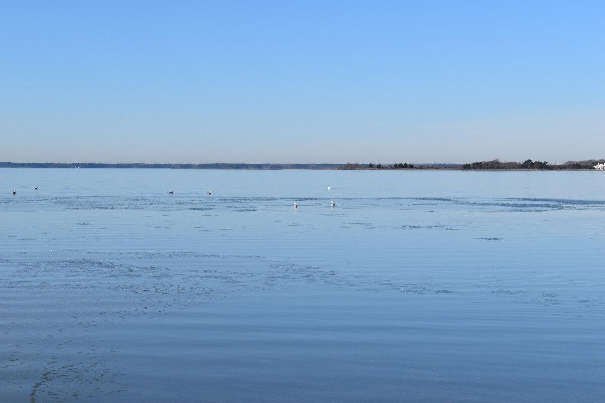Assateague seagulls