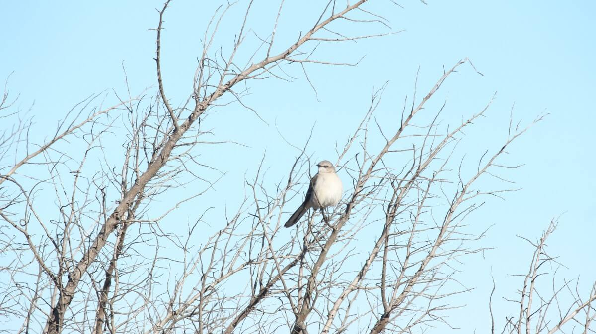Assateague sparrow