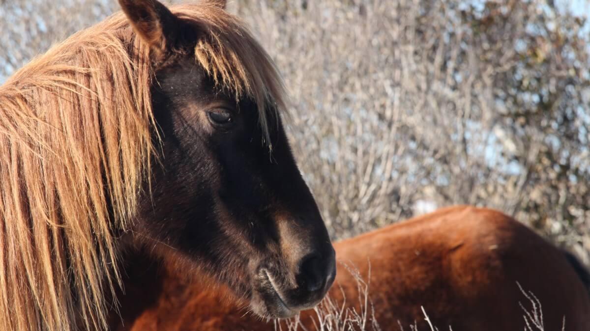 Assateague horse