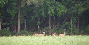 Deer cost local farmers dear-ly