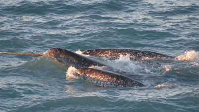 Have you seen a Narwhal in Ocean City?