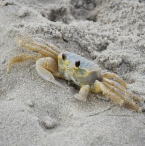 Creature Feature: The Secret Life of the Atlantic Ghost Crab
