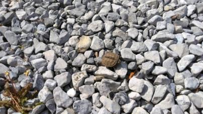 Maryland Coastal Bays Seeks Volunteers for Annual Terrapin Turtle Count
