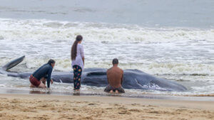 Image of beached whale in Ocean City, MD on Sept 15, 2019