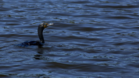 Creature Feature: Double-crested Cormorant, Phalacrocorax auratus