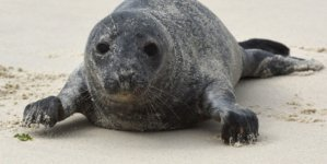Seal Steward Volunteers Needed : Training November 11