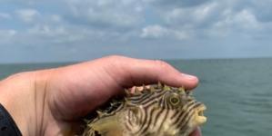 Striped Burrfish: The Not so Common Creature